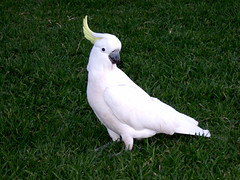 Cockatoo up close