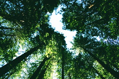 Natural High (The Wandering Angel) Tags: california travel trees nature beauty poetry redwood muir thecontinuum
