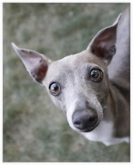 the italian (Jesse Draper) Tags: dog greyhound blur nose italian sniff curious pooch