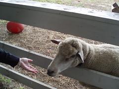 Sheep hand