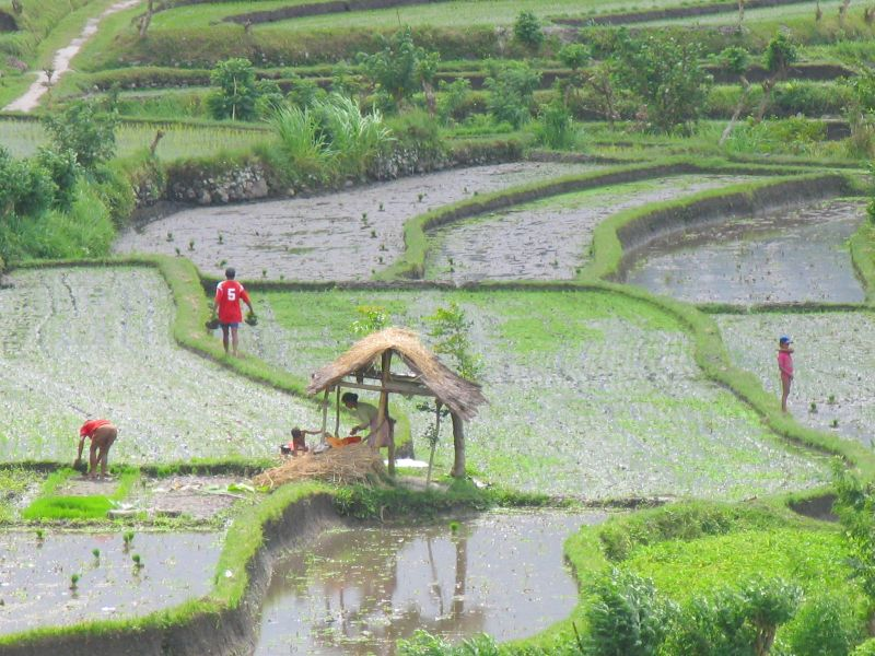 Rice paddies on the Amed - Amlapura road
