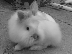 My beautiful Boon (ilikeleavesido) Tags: cute rabbit bunny sweet boon lionhead