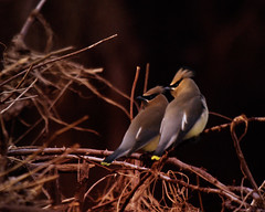 cedarWaxwings2 (gwennie2006) Tags: usa bird robert nature birds club nbc dc soft thankyou adams please pair bruce surreal spotlight sierra help cnn cedar mapplethorpe fox annie fixed abc migratory mgm waxwing pbs cedarwaxwing tutorial weber cbs sierraclub anseladams lighteffect ansel influence bombycillacedrorum 20thcenturyfox bombycilla cedrorum bruceweber robertmapplethorpe influences pleasehelp pbstelevision gwennie2006 foxtv themebirds help borreal 4deanna lesson4b justicefordeanna annieleibovtz fixedgrfxdziner dcmemorialfoundation fixedgwennie2006 themelight themedreaming grfxdzinercom cedarwaxwingwaxwingcedar pbstv
