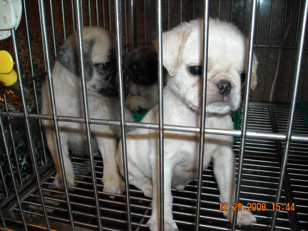 Chó chihuahua. Bull và Pug dogs