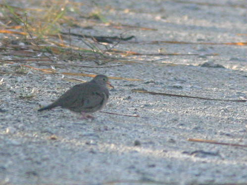 Common Ground-Dove 20090105