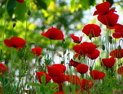 Altri mille papaveri rossi  -  Another thousand poppies (Cristina 63) Tags: flowers red italy nature europa europe italia campania bokeh natura explore poppies fiori rosso gf papaveri bokehlicious atripalda theunforgettablepictures wonderfulworldofflowers sailsevenseas explorecristina63 virgiliocompany virgilio~gf