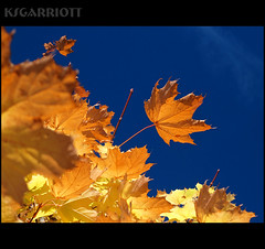 Maple Sky (KSGarriott) Tags: autumn sky orange fall nature leaves yellow gold golden leaf maple glow olympus vegitation top20autumn ksgarriott e620 scottgarriott