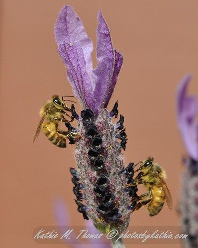Two bees and the Lavendar