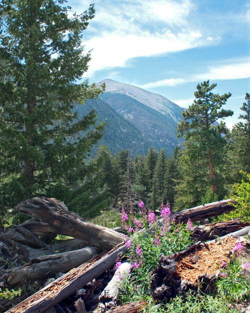 A distant peak in Rocky Mountain NP, Colorado is seen through a heavily forested view with purple wildflowers blooming near fallen tree trunks.
