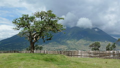 El Lechero (Sacred Tree) with Imbabura in back - Otavalo, Ecuador (meckleychina) Tags: travel tree nature landscape outdoors volcano ecuador view sacred viewpoint mirador otavalo volcan sacredtree lechero imbabura