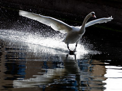 Spray landing (Steve-h) Tags: nature wildlife action flight landing spray bird swan canal dublin ireland stolenphotographs canonef70200mmf28lisiiusm canoneos5dmarkii steveh bestcapturesaoi elitegalleryaoi mygearandmegold mygearandmediamond mygearandmeplatinum mygearandmesilver mygearandmebronze mygearandmepremium tripleniceshot aboveandbeyondlevel2 aboveandbeyondlevel1 allrightsreserved rememberthatmomentlevel1 rememberthatmomentlevel2 rememberthatmomentlevel3 aerlingus europe art design tourism tourists recreation rememberthatmomentlevel4 rememberthatmomentlevel5 rememberthatmomentlevel6