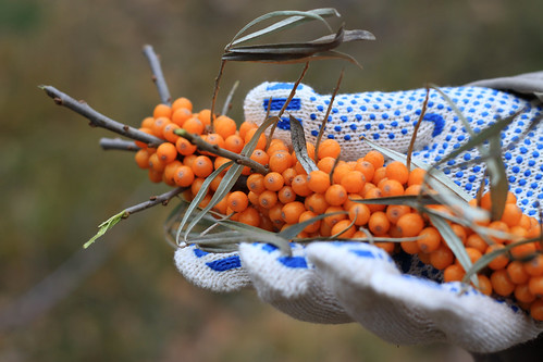 Sea Buckthorn on a Palm