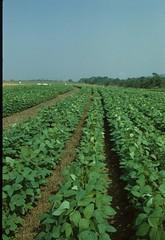 Soybean experimental plot