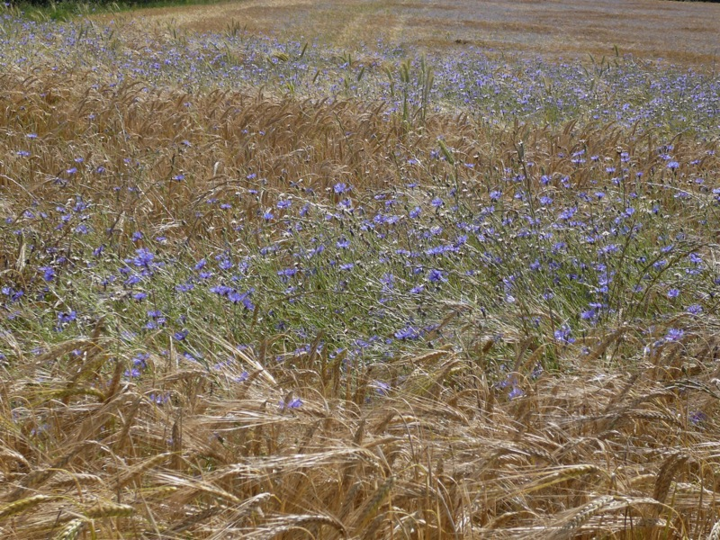 wheat and wildflowers.JPG