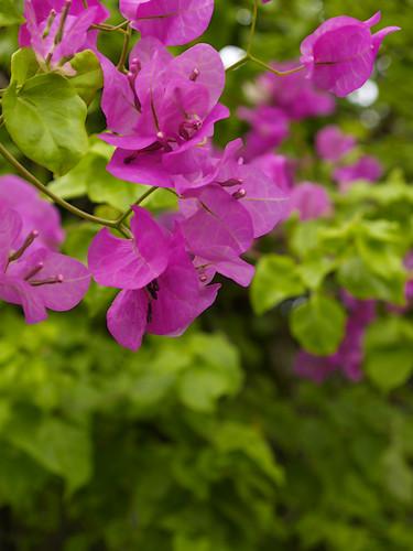 dhonjason dhon jason Bougainvillas flower flora