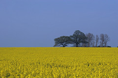 Essex in spring (Bruce82) Tags: spring fields crops essex rapeseed