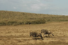 506 - Naivasha - Gnus (FO Travel) Tags: kenya nairobi nakuru karama lewa baringo naivasha turkana gabra chalbi suguta nariokotome kalacha loyangalani logipi