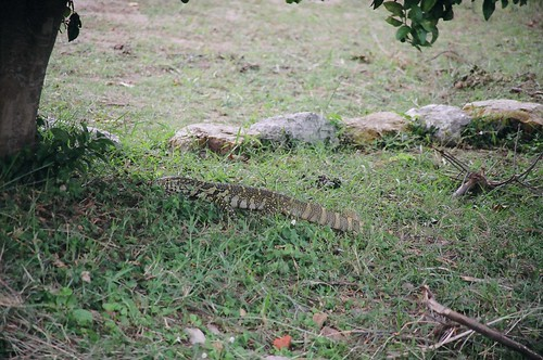 Uganda - QENP Monitor Lizard