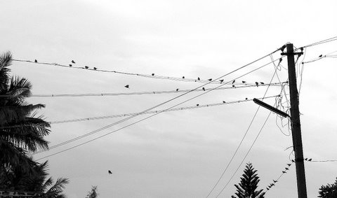 sparrows on the wires ranganathittu