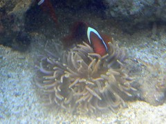 Female tomato clownfish with my new long-tentacled anemone