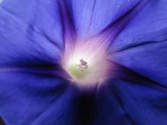 flower (jk10976) Tags: flowers blue nepal flower asia naturesfinest supershot kathamandu mywinners abigfave platinumphoto superbmasterpiece naturefinest diamondclassphotographer flickrdiamond jk10976 platinumheartaward excapture nicenicenicehaveaniceweekendmyfriend jkjk976