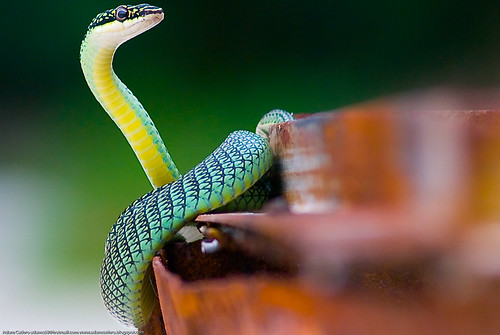 Front view of a green snake on an unused barbecue on Tong Nai Pa