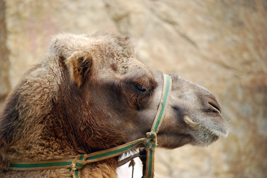 great wall camel