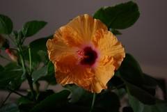 Orange Hybiscus (indianadinos) Tags: flowers pentax hybiscus 1855 k10d