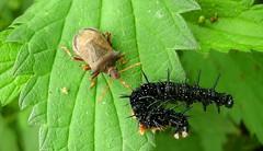 Punaise mangeant une chenille sur des orties (ComputerHotline) Tags: macro green nature leaf vert caterpillar urtica chenille feuille punaise orties inachisio ortie paondujour
