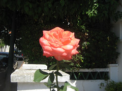 hello and here I go!  vrrrrrrrrrrrrrrrrrrrrr (MadalenaPestana) Tags: street summer sun flower green portugal rose stone garden europe lisboa lisbon naturesfinest madalenapestana naturewatcher freesecretlife