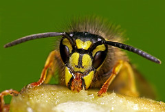 Common Wasp face (Mark Watson (kalimistuk)) Tags: macro face closeup bug insect lumix eating panasonic jaws fz50 dcr250 raynox250 commonwasp pdpnw