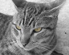 MiRaDa FeLiNa (RoOoOo!!!) Tags: eye animal fauna cat cutout ojo bigotes ojos gato felino mirada felina desaturado selectivo eyescutouts qcfaj
