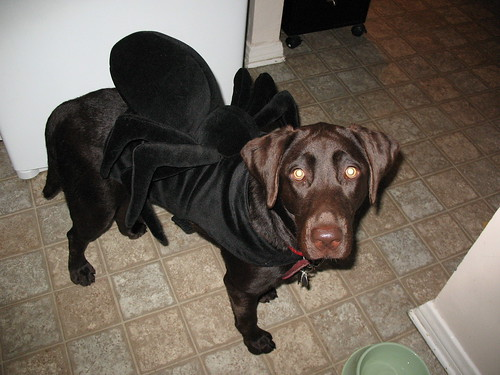 Anonymous Spider Chocolate Lab