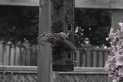 Sneaky Like Mongoose (Geoff Ruddock) Tags: nature chipmunk stealing