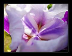 Um Dia De Glria    ( Photography Janaina Oshiro ) Tags: flower macro primavera branco brasil digital sopaulo natureza flor japo roxo lils nikond90 janainaoshiro