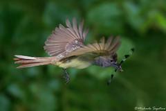 GCF (~ Michaela Sagatova ~) Tags: bird nature inflight flight dundas bif flycatcher greatcrestedflycatcher myiarchuscrinitus feedingyoung dvca michaelasagatova
