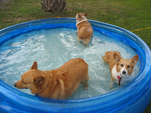 The Boys Love Their Corgi Pool