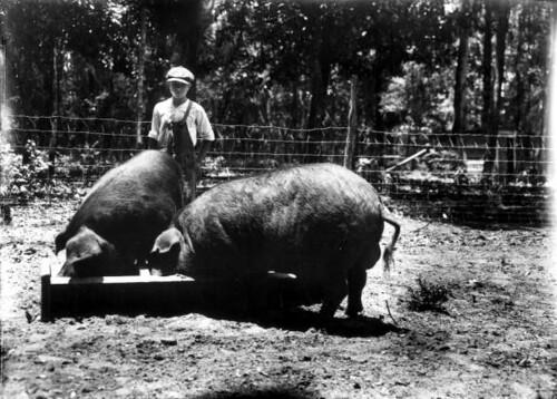 Poland China boars raised