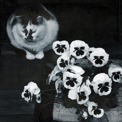 フリー写真素材, 動物, 哺乳類, ネコ科, 猫・ネコ, 花・植物, スミレ科, パンジー, モノクロ写真,