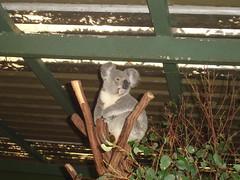 Lone Pine Koalas3