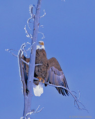 Bald Eagle at Below Zero - Yellowstone in Winter (Dave Stiles) Tags: birds baldeagle yellowstonenationalpark yellowstone birdwatcher stiles specanimal wingedwonders yellowstonewildlife naturewatcher