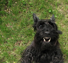 and your little dog too! (Observe The Banana) Tags: dog black grass fence teeth scottish terrier bark growl scotty scottie yip