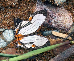 Aceh Butterfly - Cyrestis thyodamas (Mangiwau) Tags: macro butterfly insect indonesia rainforest butterflies insects creepy jungle common aceh insectes nad insecta serangga crawlies mapwing geumpang cyrestis thyodamas