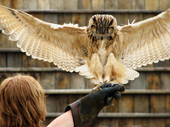 owl landing! - by hans s