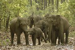 Aggresive herd (dickysingh) Tags: wild india nature big outdoor wildlife aditya elephants corbett singh smrgsbord corbet dicky indianwildlife indianelephants corbettnationalpark asianelephants corbetttigerreserve asiaticelephants elephantpark wildelephants elephantreserve ranthambhorebagh adityasingh dickysingh ranthamborebagh theranthambhorebagh wwwranthambhorecom