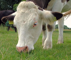 Eating Cow - Dedham, Essex, England - Monday July 9th 2007 (law_keven) Tags: england field animals cow farm agriculture essex dedham farmanimals abigfave