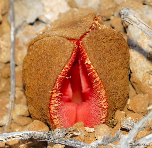 Hydnora africana flower