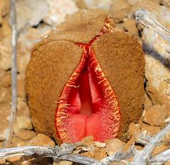 Hydnora africana flower - by Martin_Heigan