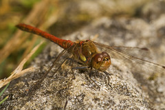 "Common Darter Dragonfly (Sympetrum s(49) • <a style=""font-size:0.8em;"" href=""http://www.flickr.com/photos/57024565@N00/1304283182/"" target=""_blank"">View on Flickr</a>"