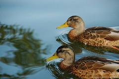 Ducks (Rafal Bergman) Tags: lake mazury lakes poland polska mazurian wielkie jeziora mazurskie